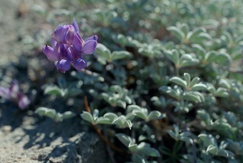 Nature's Triumph to Herself: The Alpine Lupine