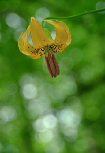 Wildflowers Of The Northwest Tiger Lily