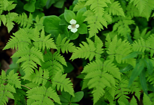 Bunchberry and Ferns