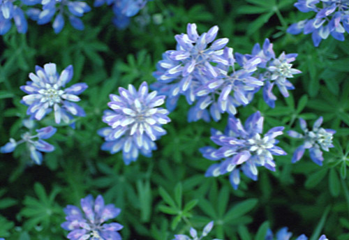 Lucious Lupine