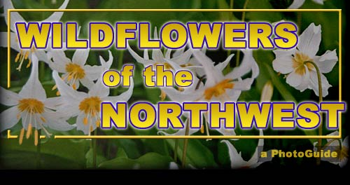 Wildflowers of the Pacific Northwest - intangibility.com